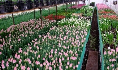 Выращивание цветов в теплице на продажу