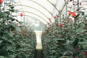 Выращивание капризных роз в небольшой теплице