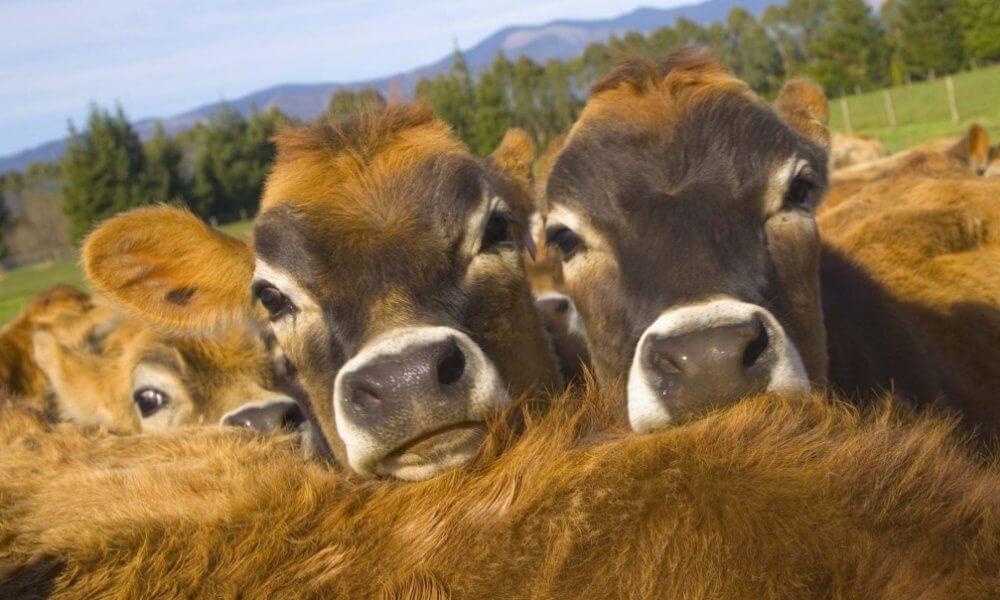 Выращивание бычков как вид бизнеса