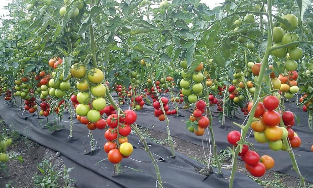Бизнес план выращивание томатов 55