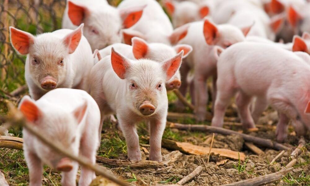Свиноводство как перспективный бизнес