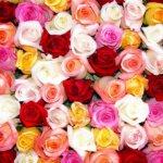 Выращивание роз в качестве бизнеса