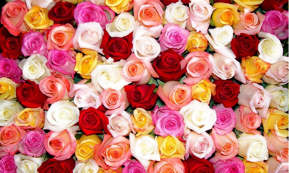 Эффективный бизнес по выращиванию роз