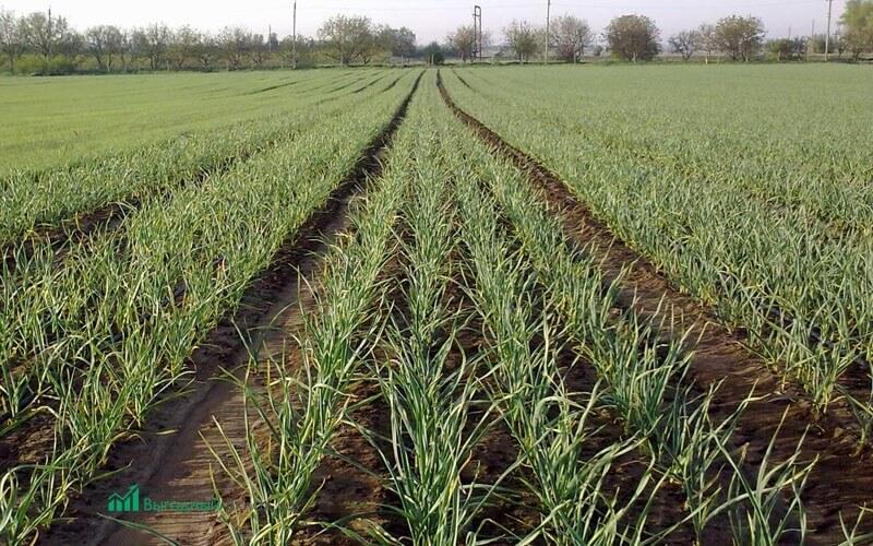 Бизнес план чеснок выращивание 93
